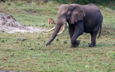 Searching For Tuskers In Tembe Elephant Park
