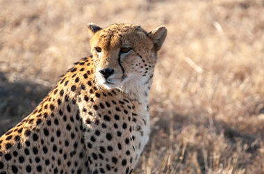 Cheetah in Mountain Zebra National Park withT